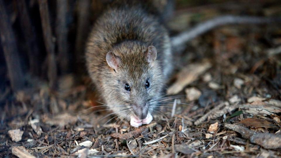 تصویر از موشها، مشکل جدید خیابانهای کانادا در زمان شیوع ویروس کرونا