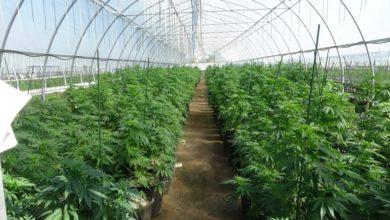تصویر از پلیس انتاریو : کشف و ضبط میلیون ها دلار ماریجوانا و سایر مواد مخدر از شبکه توزیع غیرقانونی