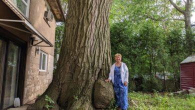 تصویر از درخت بلوط با قدمت بیش از کانادا : تورنتو برای حفظ آن تلاش می کند