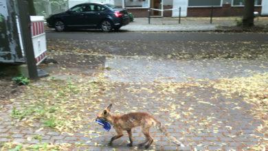 تصویر از کشف 100 جفت کفش ، صندل و دمپایی سرقت شده توسط یک روباه در آلمان