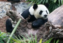 تصویر از باغ وحش کلگری : پاندا های خرس غول پیکر بدلیل عدم اجازه سفر هنوز در کلگری هستند