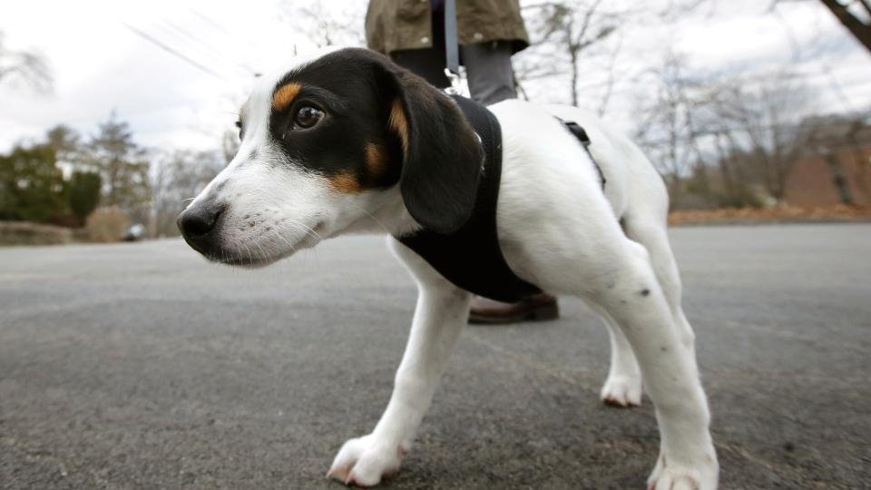 زوج اهل کبک در حالیکه سگ خود را با قلاده به پیاده روی برده بودند، بدلیل نقض قانون منع رفت و آمد جریمه شدند