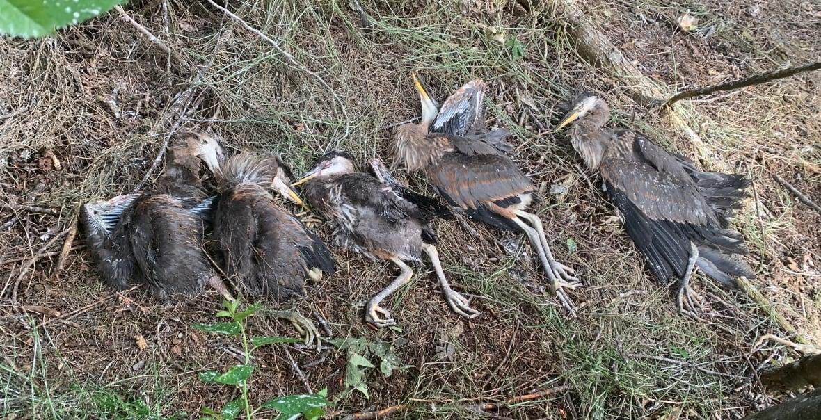 تصویر از کشته شدن جوجه حَواصیل ها ( مرغ ماهیخوار ) در پی سقوط درخت