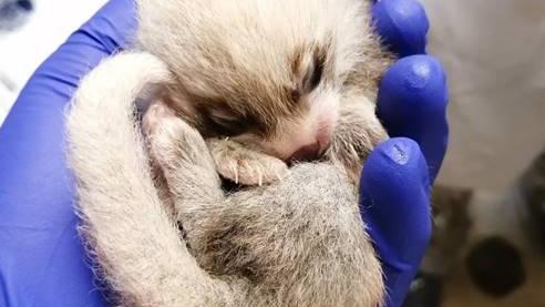 تصویر از یکی از دو بچه پاندای سرخ تازه متولد شده در باغ وحش تورنتو جان سپرد